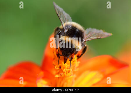 Macro shot of a bumble bee pollinating an orange coreopsis flower - Stock Photo