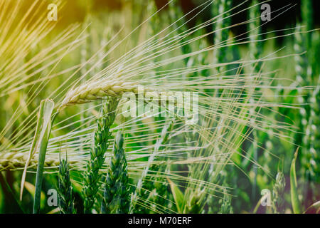 Green wheat filed in evening sun light - Stock Photo