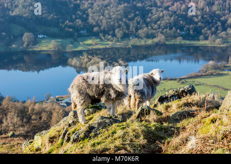Herdwick sheep on knoll beside Grasmere, Lake District National Park, England - Stock Photo