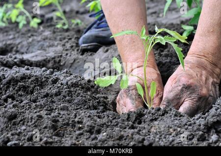 gardener's hands planting a tomato seedling in the vegetable garden - Stock Photo