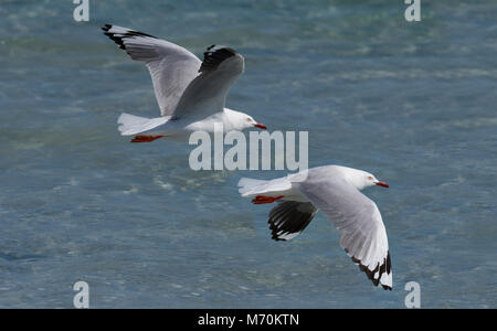 Silver gull Chroicocephalus novaehollandiae in flight on beach - Stock Photo