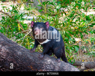 Tasmanian devil Sarcophilus harrisii on the island state of Tasmania - Stock Photo