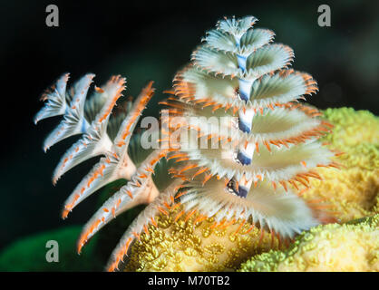 Christmas tree worm on a coral reef off the island of Cuba displays its colorful radioles - Stock Photo