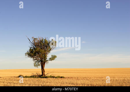 Tree standing alone in  wheat paddock, Northern Victoria. - Stock Photo