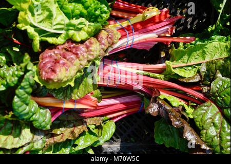 Farm fresh Swiss chard harvested and grouped with rubber bands, in Wisconsin, USA - Stock Photo