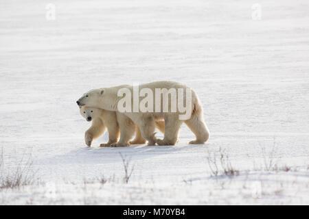 01874-14311 Polar Bears (Ursus maritimus)  female and cub in Churchill Wildlife Management Area,  Churchill, MB Canada