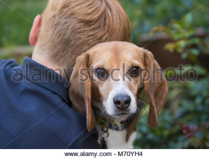 Young red-headed boy with back to camera holding a beagle who looks over his shoulder toward the camera - Stock Photo