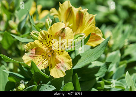 Rhododendron luteum or yellow azalea flower blossoms in full bloom. - Stock Photo