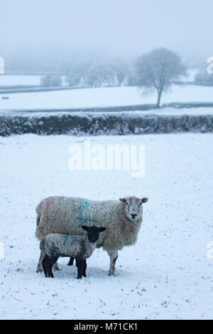 A ewe sheep and her lambs seeking protection from the heavy overnight snowfall and freezing temperatures in an upland - Stock Photo