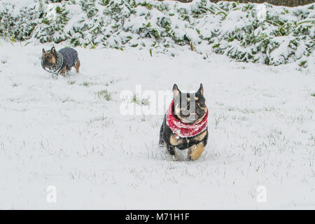 Diesel the French bulldog wrapped up out in the snow from beast from the east - Stock Photo