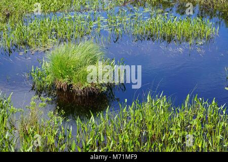 Blue sky reflected in a lake with clumps of grass in the Adirondack Park, New York, USA. - Stock Photo