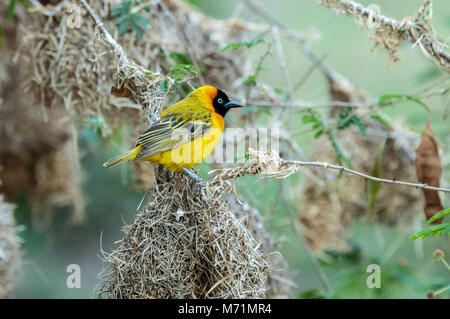 The southern masked weaver or African masked weaver is a resident breeding bird species common throughout southern - Stock Photo