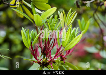 New leaves unfolding on a rhododendron plant. - Stock Photo