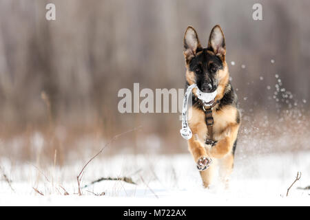 German Shepherd running in snow outside - Stock Photo