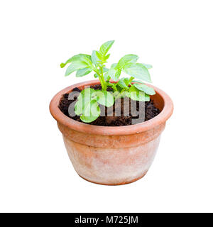 Potatoes  growing in plant pots isolated - Stock Photo