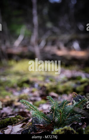 A pine tree sapling growing through dead leaves and moss on woodland ground. Natural Woodland Environment. Bernwood - Stock Photo