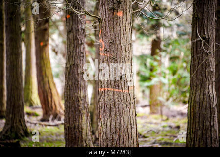 Forestry markings on a tree - Natural Woodland Environment. Bernwood Forest. UK - Stock Photo