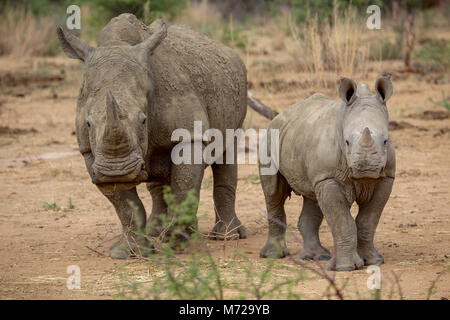 a baby rhino and his mother in the Kruger National Park South Africa - Stock Photo