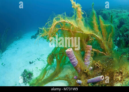 Algae overrun a dead coral reef, Curacao, Netherlands Antilles, Caribbean, Caribbean sea - Stock Photo