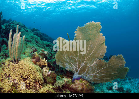 Healthy caribbean coral reef with a giant seafan (Gorgonia ventalina), Curacao, Netherland Antilles, Caribbean, - Stock Photo