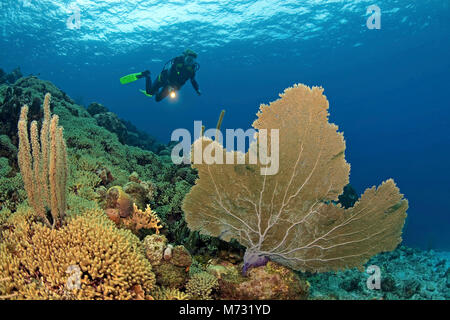 Scuba diver in caribbean coral reef with a giant seafan (Gorgonia ventalina), Curacao, Netherland Antilles, Caribbean, - Stock Photo