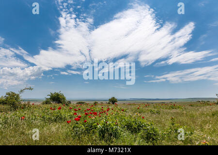 Field with flowers, red peony with a background of sunny sky, red flower blossom - Stock Photo