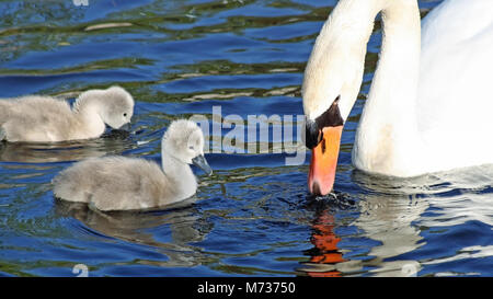 Mute Swan mother and her two tiny baby Cygnets swim and feed in the water - Stock Photo