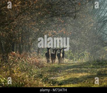 Five female Fallow deer (Dama dama) standing in the morning light in Uffmore wood, Halesowen, West midlands, uk. - Stock Photo