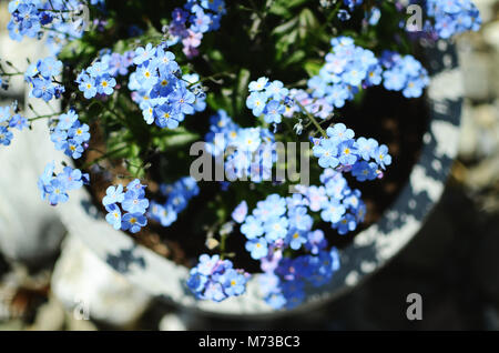 Blue forget-me-not flowers in a flower pot outside in garden. View from above, selective focus. - Stock Photo