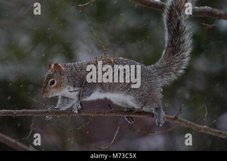 Grey Squirrel in tree. Winter UK