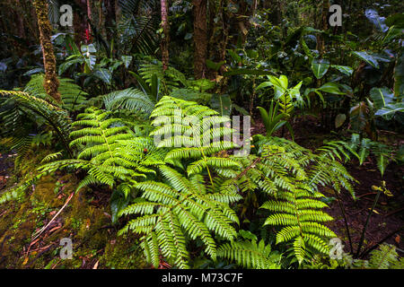 Vegetation on the cloud forest floor in La Amistad National Park, Chiriqui province, Republic of Panama. - Stock Photo