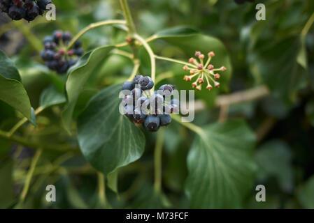 Hedera helix fruits - Stock Photo