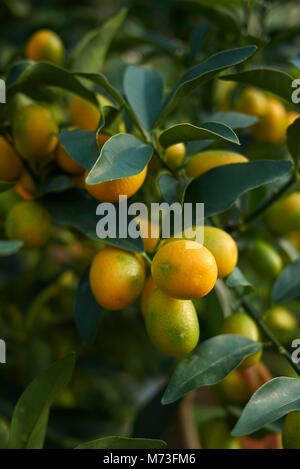 kumquats branches stock photo 176484417 alamy