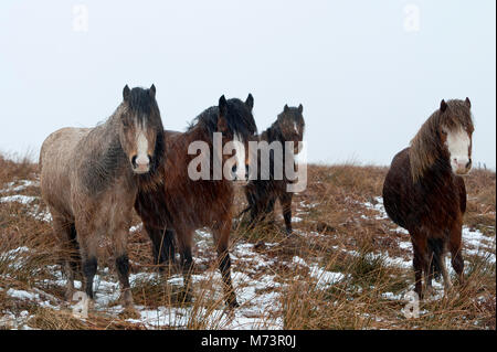 Builth Wells, Powys, UK. 8th March 2018. Welsh Mountain Ponies are seen in a cold wintry landscape on the Mynydd - Stock Photo