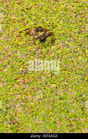 Columbia spotted frog, Revelstoke National Park, British Columbia, Canada - Stock Photo