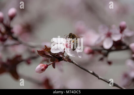 Bee pollination on a beautiful flower of Prunus cerasifera pissardii - Stock Photo
