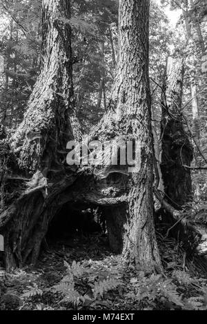 open mouth of a old tree in black and white - Stock Photo