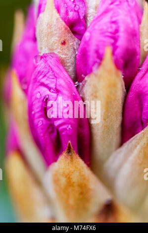 Close up of pink rhododendron flower bud. - Stock Photo