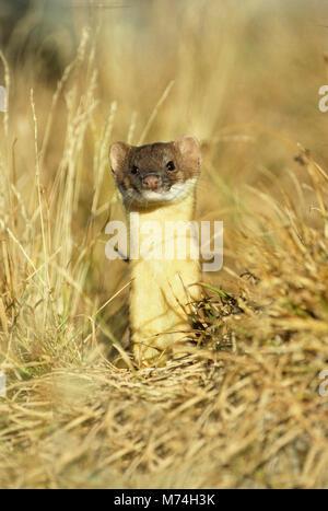01882-00107 Long-tailed Weasel (Mustela frenata) Glacier National Park   MT - Stock Photo