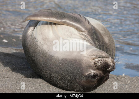 Close up cute female elephant seal Mirounga leonina on back at waters edge hugging flippers to chest in sunshine - Stock Photo
