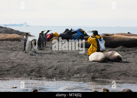 Eco-Tourist wildlife photographer with camera works kneeling on beach surrounded by curious local wildlife, King - Stock Photo