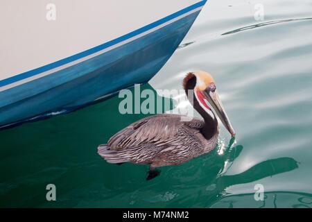 California Brown Pelican in breeding phase colors swimming in the Cabo San Lucas marina in Baja California Mexico - Stock Photo