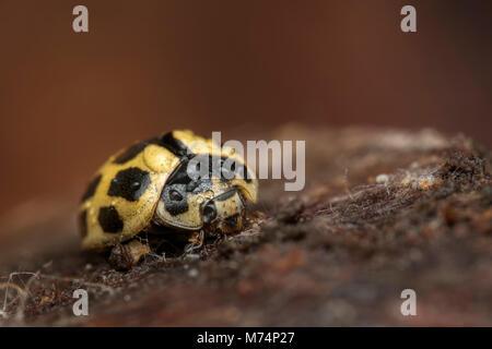 Hibernating 14-spot Ladybird (Propylea quattuordecimpunctata) on underside of rotten branch in woodland. Tipperary, - Stock Photo