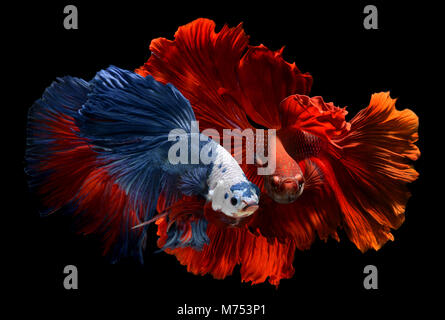 Fancy monster white head and super red betta or saimese fighting fish like the dragon swiming . - Stock Photo