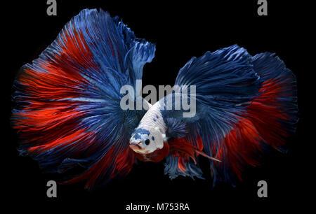 Fancy monster white head betta or saimese fighting fish like the dragon swiming . - Stock Photo