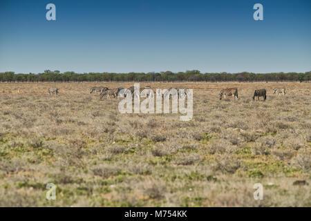 Herd of zebras walking on etosha. Namibia. Africa. - Stock Photo