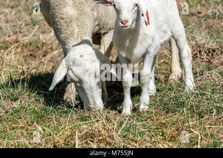 A baby lamb (White Dorper) (Ovis aries) looks at the camera next its grazing mother in a pasture at the Biltmore - Stock Photo