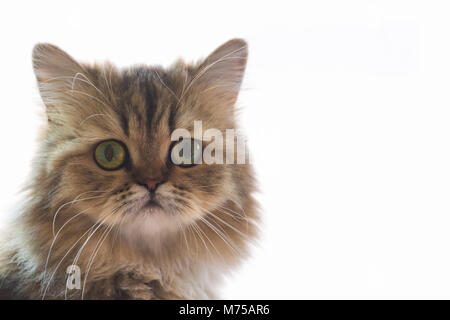 cute chinchilla persian kitten cat waiting and looking for the owner near the window with light. portrait of cat - Stock Photo