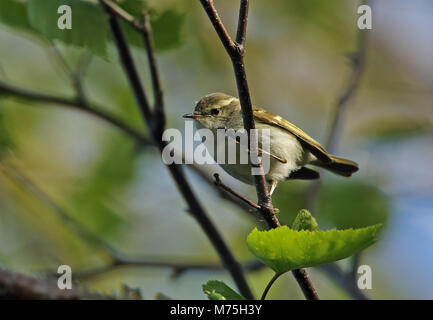 Hume's Leaf-warbler (Phylloscopus humei mandellii) adult pearched on branch  Old Peak, Hebei, China       May - Stock Photo
