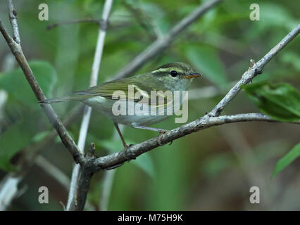 Claudia' Leaf-warbler (Phylloscopus daudiae) adult perched on branch  Old Peak, Hebei, China             May - Stock Photo